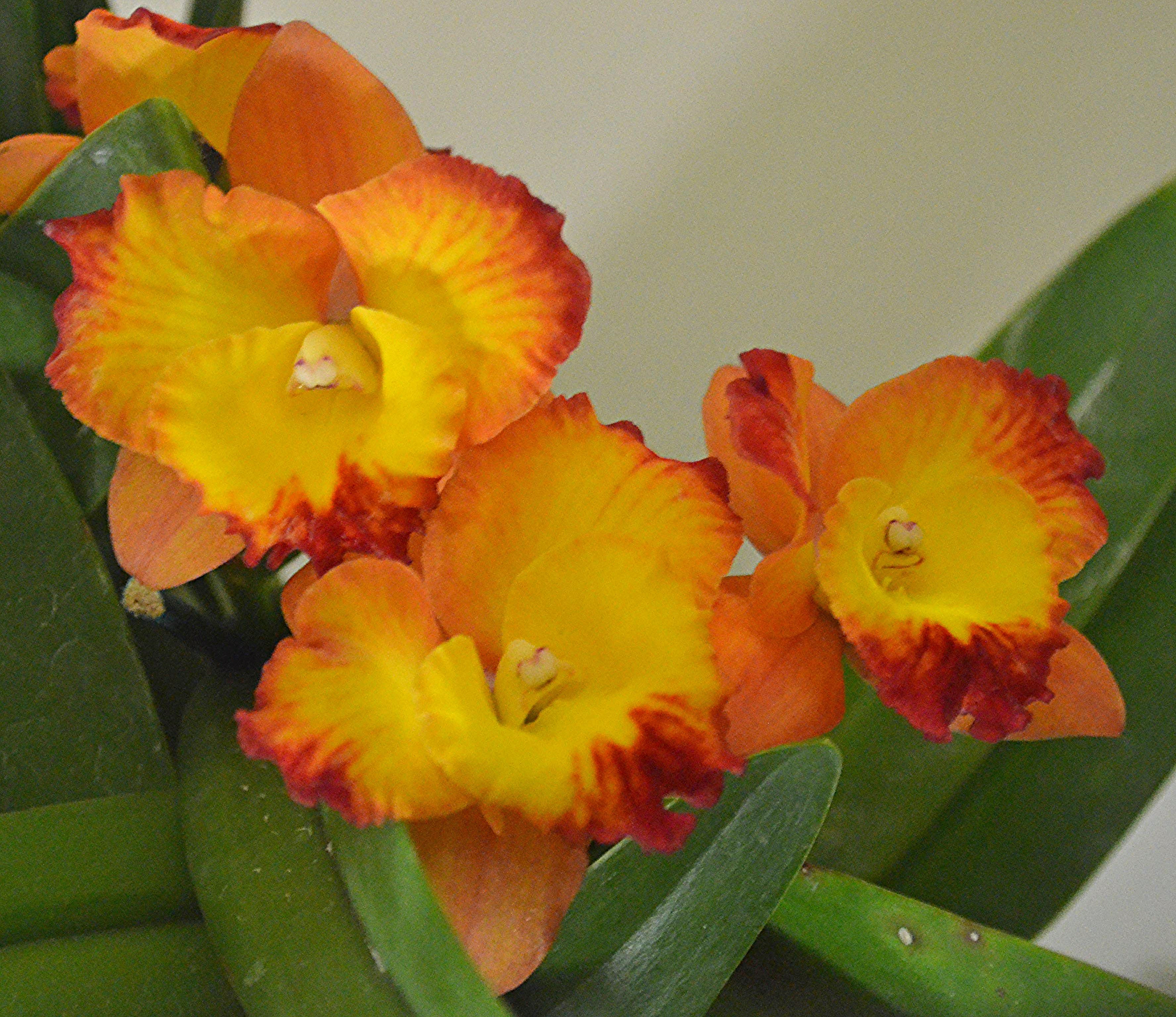 Cattleya Dal's Good One 'Janelle'