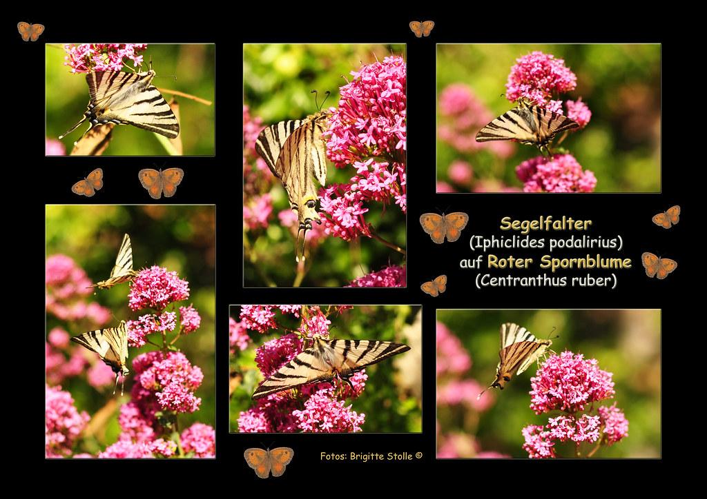 Segelfalter Schmetterling Ritterfalter Rote Spornblume Mittelmeerraum mediterran Naturfotografie Brigitte Stolle