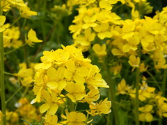 canola, flower, yellow, mustard plant, brassica rapa, mustard, subshrub, herb, wildflower, flora, rapeseed,