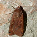 Flickr photo 'Large Yellow Underwing (Noctua pronuba)' by: berniedup.