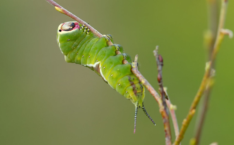 Puss Moth caterpillar