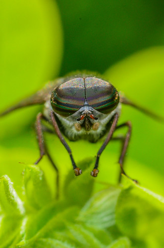 <p><i>Hybomitra</i> sp., Tabanidae<br /> Ferry Point Landing, Alberta, Canada<br /> Nikon D5100, 105 mm f/2.8<br /> June 21, 2014</p>