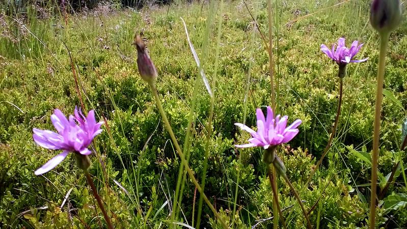 wild flowers. Trostyan, Carpathians, Ukraine