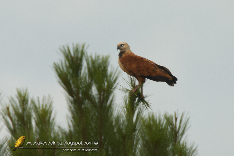 Aguilucho pampa (Black-collared Hawk) Busarellus nigricollis