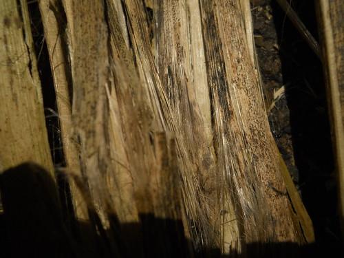 milkweed stalks