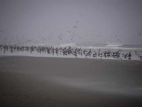 Shore Birds at Long Beach