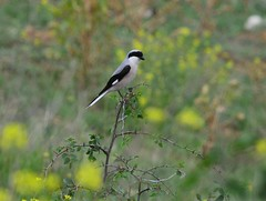 DSC_4187-Lesser Grey Shrike
