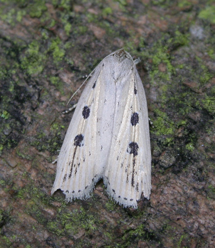 Silky Wainscot Silky Wainscot Chilodes maritimus ab. bipunctata Tophill Low NR, East Yorkshire July 2014