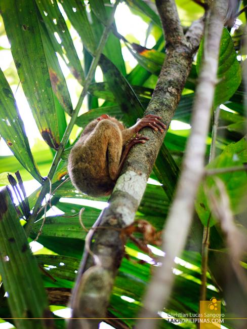 A Sleeping Tarsier at the Philippine Tarsier & Wildlife Sanctuary in Bohol