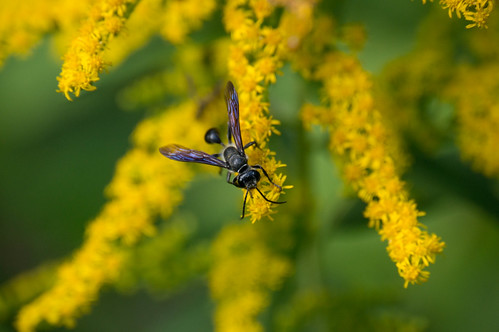 09692 Grass-Carrying Wasp