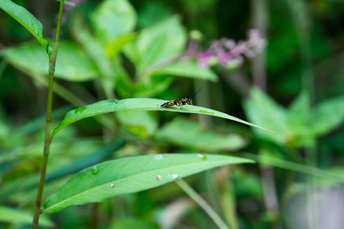 09777 Ichneumon Wasp