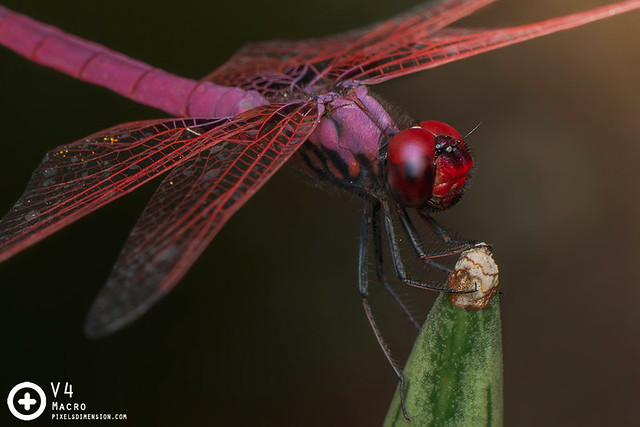 A perching Trithemis aurora ♂- Crimson Dropwing