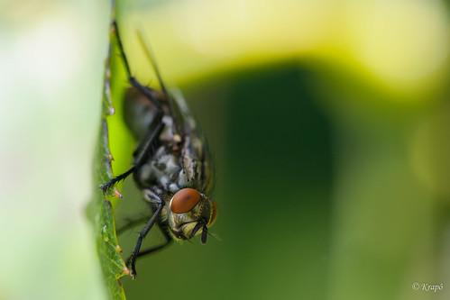 Mouche Domestique - Housefly - Musca Domestica