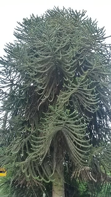 Of course I love our trees, but we don't have a monkey puzzle and I'm jealous