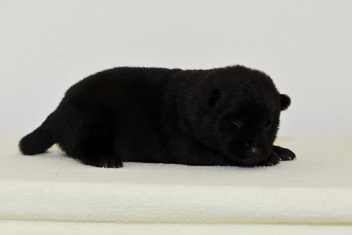Nori-Litter2-10Days-Puppy6(female)d