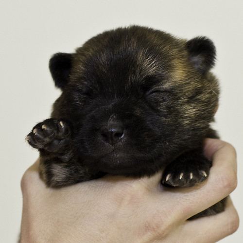 Nori-Litter2-10Days-Puppy2(male)a