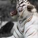 White Tiger Variation5 by Fotografik33 - www.fotografik33.com