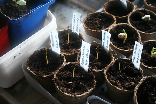 Seedlings, Pear, Angelyce - 2014-08-19