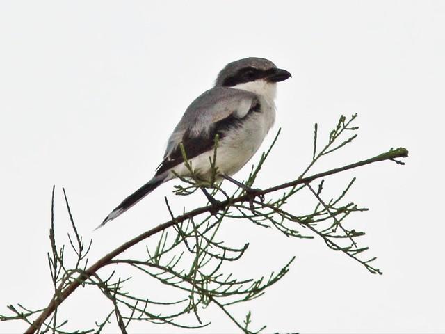 Loggerhead Shrike 2-20140909