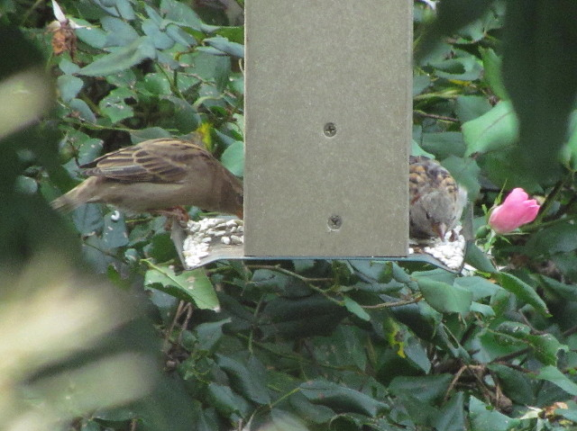 House Sparrows1 eating safflower 9:10:14