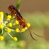 Red Wasp sipping Anise nectar by vnelson