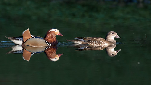 Pair od Mandarin ducks