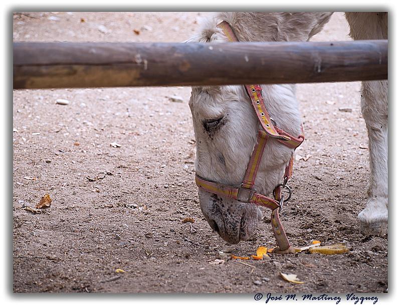 """Un animal tan util para el hombre hace años y hoy casi en el olvido... """"el burro"""" 15126113928_69c68d4785_c"""