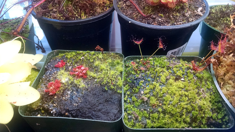 Drosera ultramafica x spatulata and Drosera binata 'Marston Dragon' plantlets.
