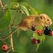 Harvest mouse by cornishdave