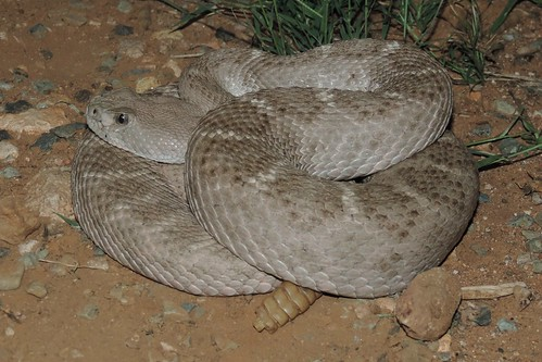 Diamond-backed Rattlesnake (Crotalus atrox