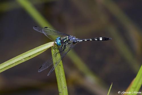 Micrathyria hagenii