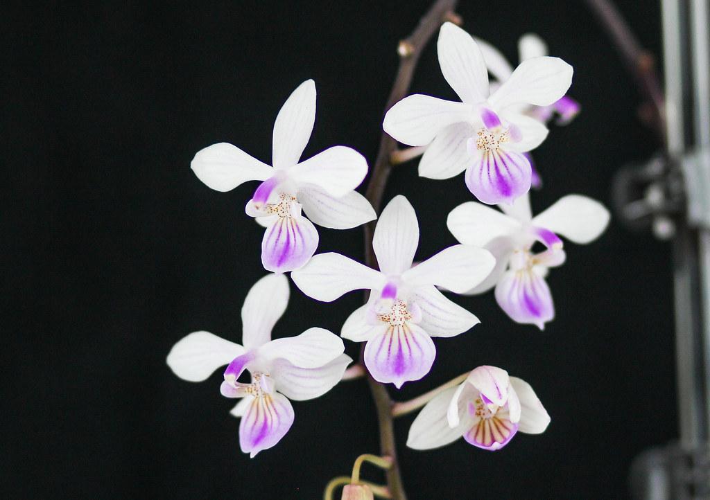 Photo:Phalaenopsis lindenii By:blumenbiene