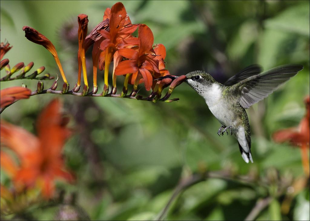 Hummingbird at Crocosmia 9