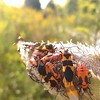 Beetles with Milkweed.