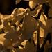 narcissus papyraceus 8w-w, narcissus w-w, oneplant, trumpetwhite - daffodil parts, jdy329 XX201111254661.jpg