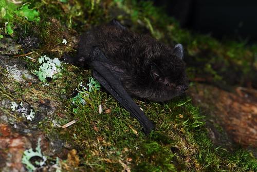 寬吻鼠耳蝠寬吻鼠的分類地位重要,學者在這類群發現新種。(攝影:周政翰攝)