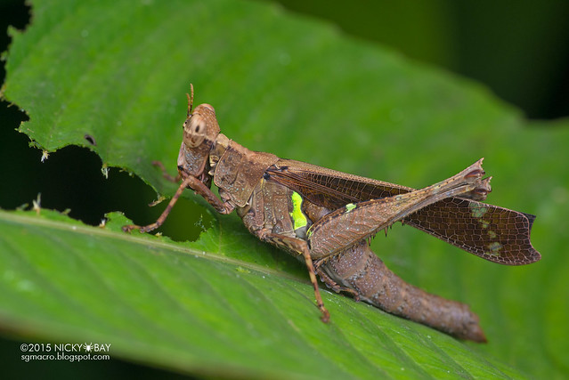 Monkey grasshopper (Erianthus sp.) - DSC_3820