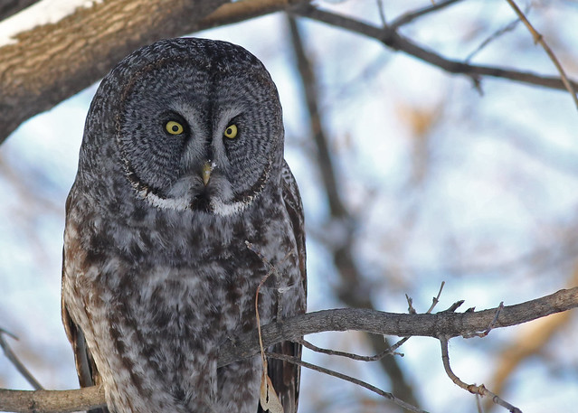 Great Gray Owl... 21, Canon EOS 5D MARK III, EF400mm f/5.6L USM