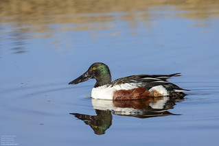 Northern Shoveler (Anas clypeata) Bitter Lake NWR, New Mexico, U.S. 2017