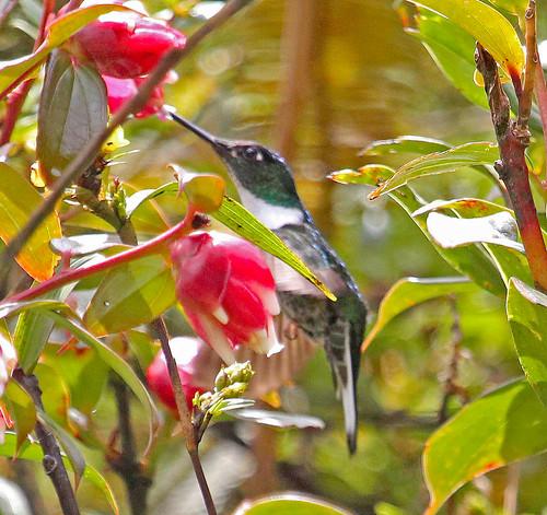 170228 2017 apodiformes coeligena coeligenatorquata collaredinca ecuador hummingbird podocarpusnationalpark trochilidae bird inca