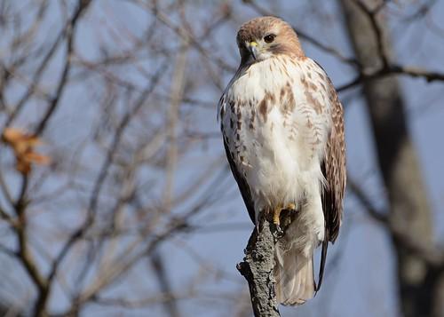 birds birdsofprey raptors hawks hawkredtailed redtailedhawk nikon nikond7100 tamronsp150600mmf563divc johnny jdawildlife portrait