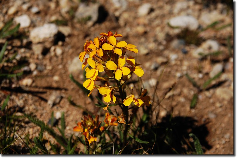 Western Wallflower 2