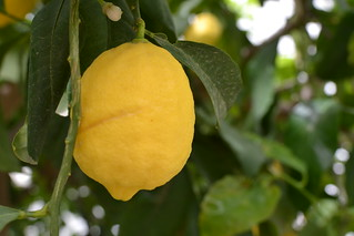Lemon Hanging From A Tree