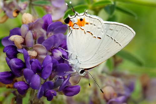 usa flower macro butterfly morninglight unitedstates manhattan ks ksu kansas kansasstateuniversity kstate ksugardens canonef100mmf28macro 5dm3 canonef100mmf28lmacroisusm kstategardens