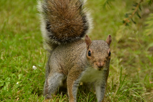 468 - Edinburgh - botanic gardens - Squirrel