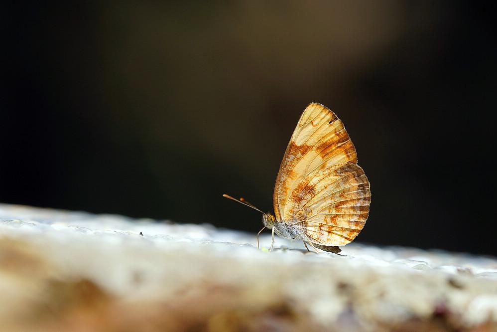 金環蛺蝶屬金環蛺蝶14S102