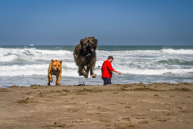 A dog leaping on the beach.