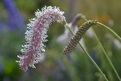 SANGUISORBA tenuifolia 'Strawberry Frost'
