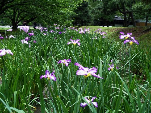 Hama-Rikyu Garden Iris