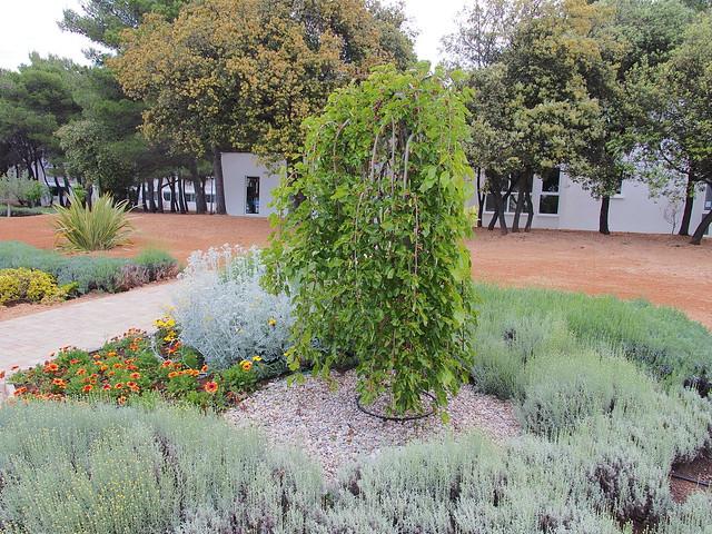 花園內的桑葚
